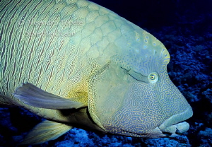 Napoleon Fish, Sharm il Sheik Egypt by Alejandro Topete 